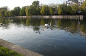 schwan auf dem kanal hinter dem urbankrankenhaus © friedrichshainblog.de