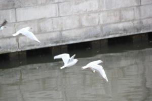 39 Vögel Landwehrkanal Kreuzberg