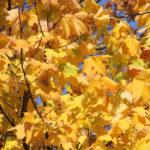 05 Ahornbäume im Viktoriapark
