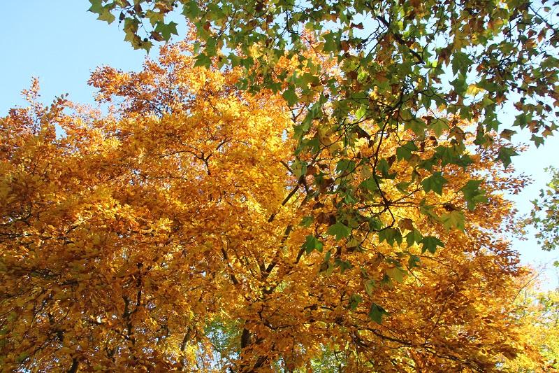 06 Herbstbaum Viktoriapark