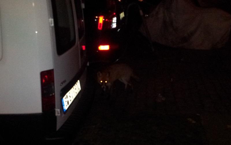Fuchs im Nordkiez