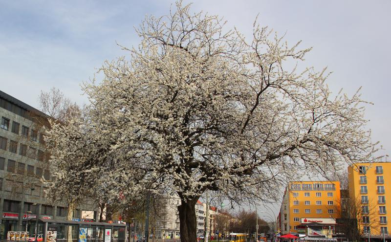 Kirschbaum Warschauer Str