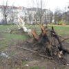 entwurzelter Baum comeniusplatz